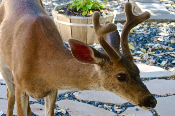 His antlers are still growing and in velvet. By September the antlers will lose their velvet and Big Buck will be ready of his lady love, or, as he prefers, lady loves.