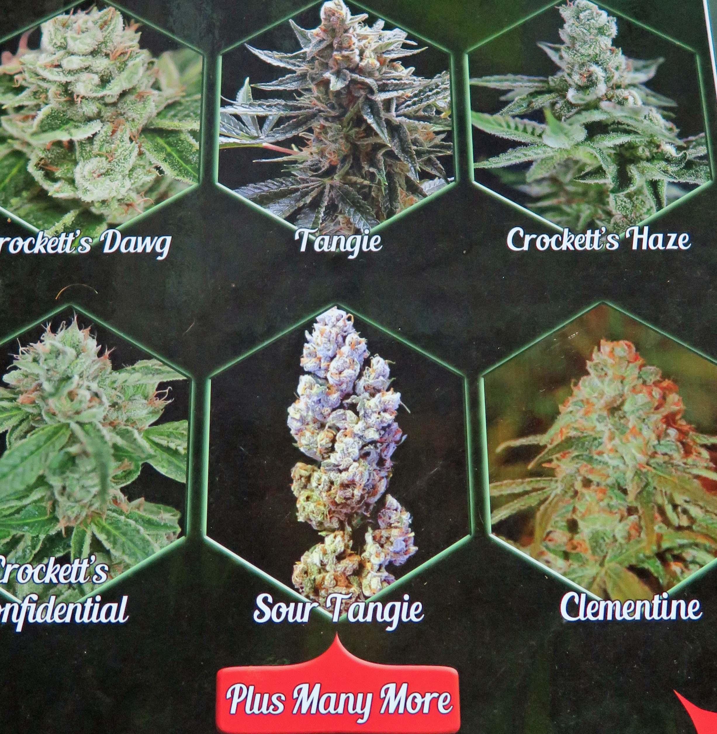 essay on cannabis cannabis essay example essay format sample scholarship essay swewl medical marijuana essay sample clasifiedad