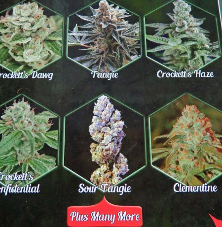 And you have to decide what type of cannabis you are going to plant. There are literally hundreds of string that have been developed, all with different strengths, and if you accept the literature, different qualities.