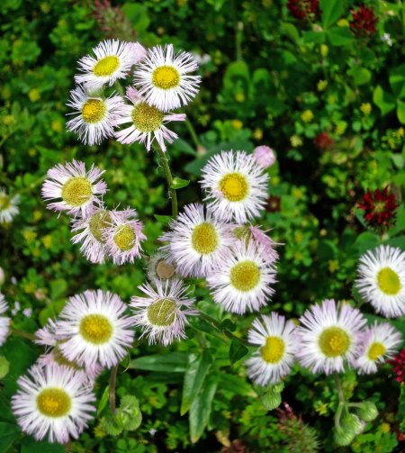 There is nothing endangered about this pretty daisy (Fleabane, I think) that was growing at the site.