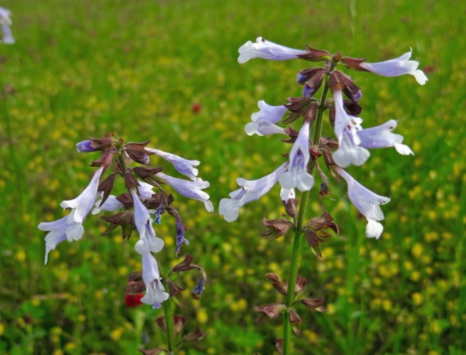 Flowers growing on the Pharr Mounds along the Natchez Trace in Northern Mississippi.