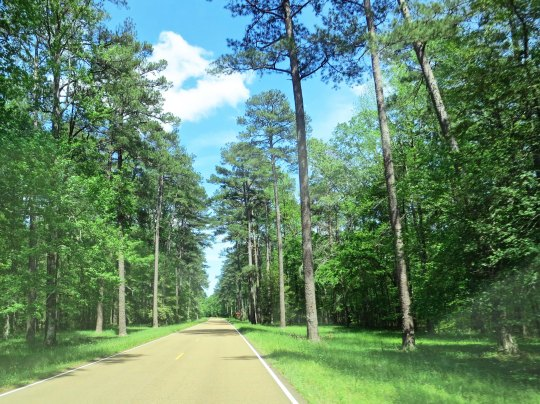 Pine trees became common around Jackson, Mississippi.