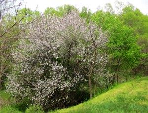 Apple tree on the Blue Ridge Parkway.
