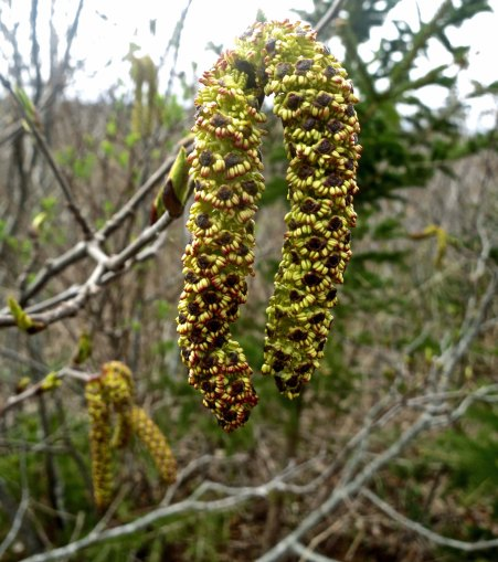 And this impressive Catkin.