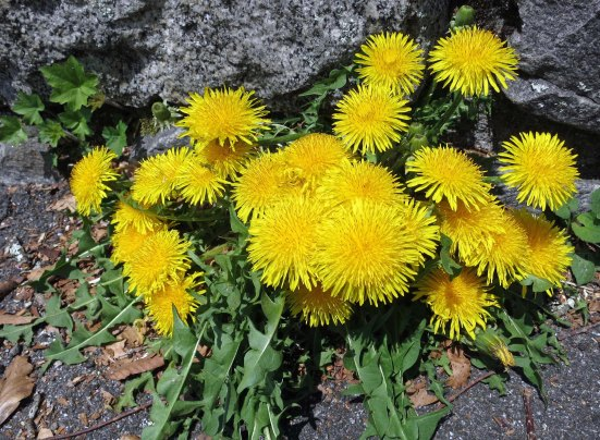 Dandelions had no problem with spring. Peggy and I found them happily blooming away throughout our trip.
