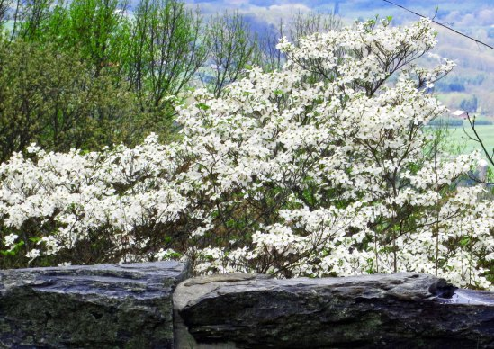 Dogwood is another plant that enjoys spring and was blooming in profusion all the way along the Parkway.