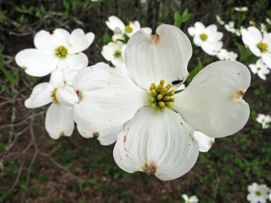 A close up of the dogwood.