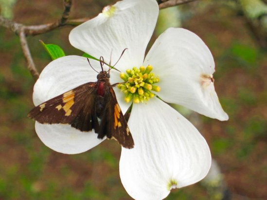 Dogwood on Blue Ridge Parkway with butterfly.
