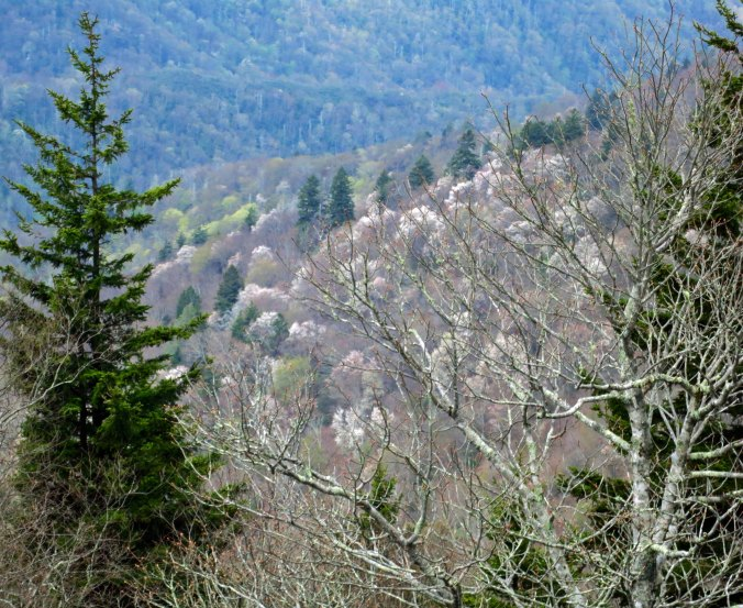 Some of the canyons along the Parkway were filled with blooming dogwood.