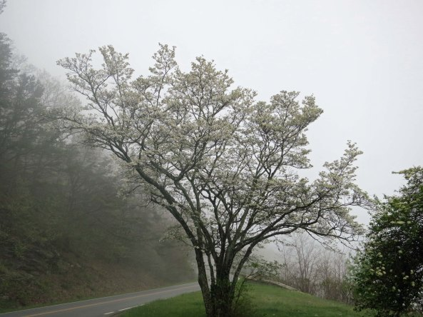 A tree of dogwood blooming along the Skyline Drive in Virginia.