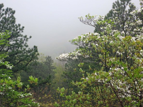 Dogwood in fog along Skyline Drive in Virginia.