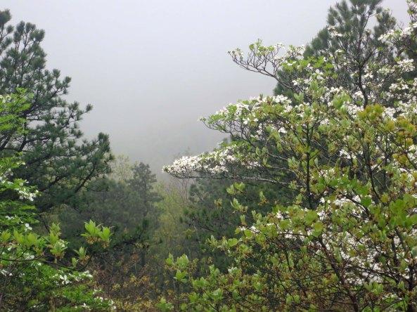 Dogwood in fog along Skyline Drive in Virginia.