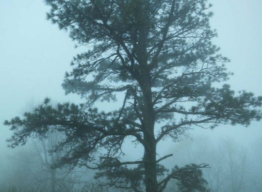 A pine tree stands out in the fog along the Blue Ridge Parkway.