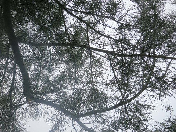 Pine needles provided an interesting pattern in the fog.