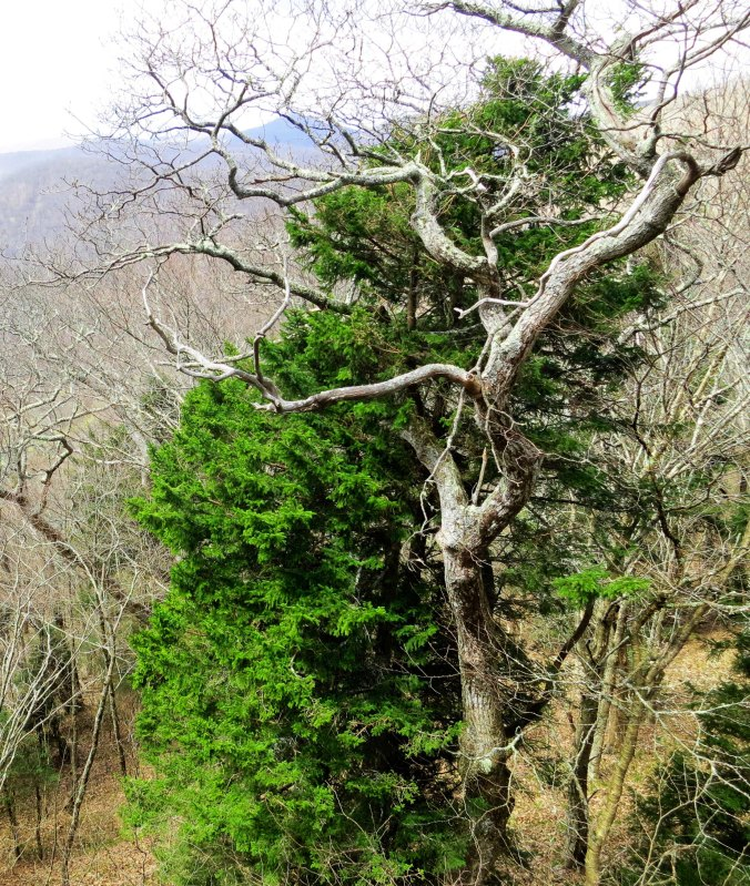 Every turn in the road on the Blue Ridge Parkway brings gorgeous views. Some are in distant vistas but many are up close and personal, like these two trees.