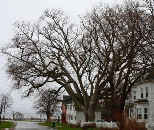 A sign proclaimed that this was the largest tree on Prince Edward Island.