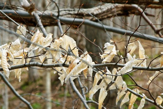 A few ghost leaves still flung to branches, waiting for spring growth to push them off.
