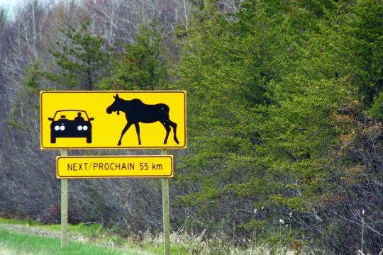 Watch out for moose signs take on a more urgency along roads that are built for speed. The New Brunswick highway department wanted to make sure that drivers got the point that a moose is a big animal you do not want to run into!