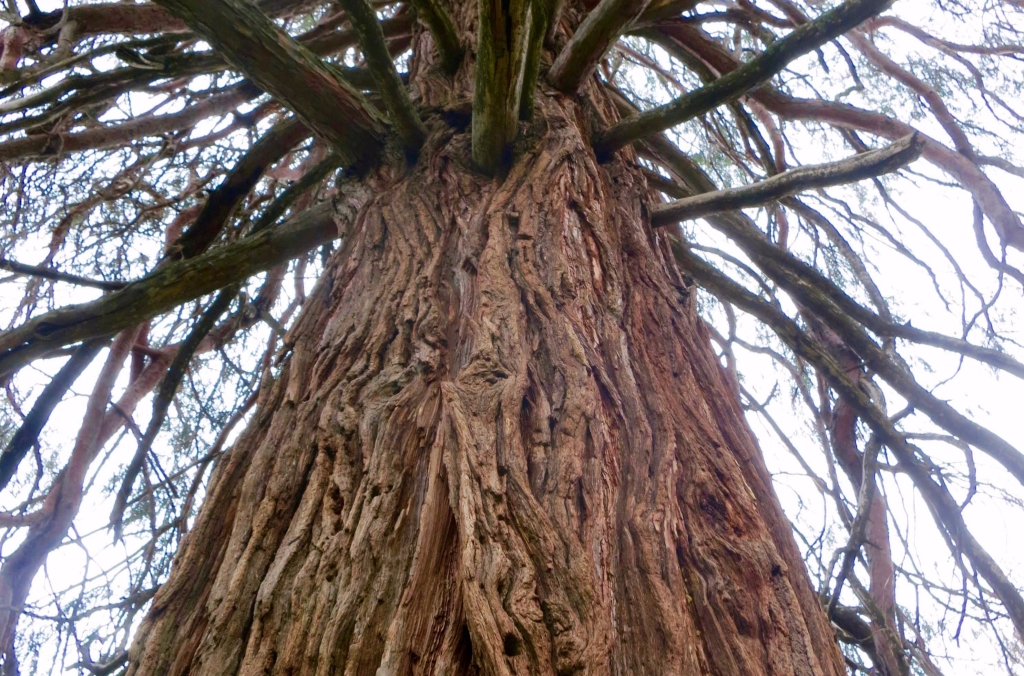 Incense Cedar tree in Diamond Springs California graveyard