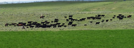 Cattle roundup in Montana.