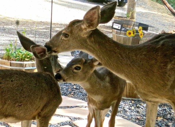 Did you remember to wash your ears? I never get tired of watching deer groom each other. They do it all the time.