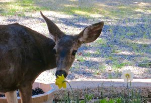 Deer sniffs flower for edibility in the Applegate Valley of Oregon.