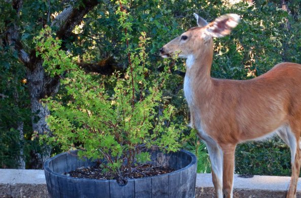 A thorny issue. This deer is receiving a lecture from Peggy about not eating her rose bush. Check out that stance!