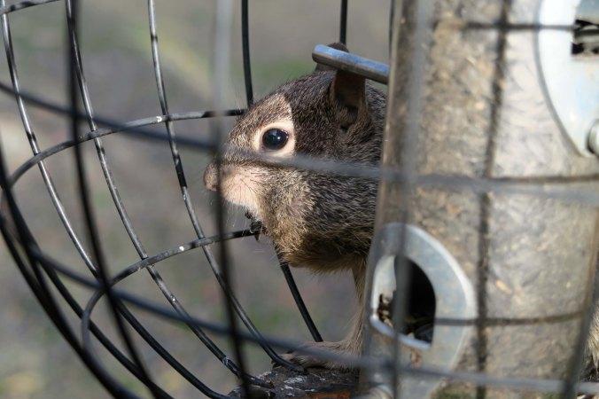 Ground squirrel robbing bird feeder on Applegate River in Oregon.