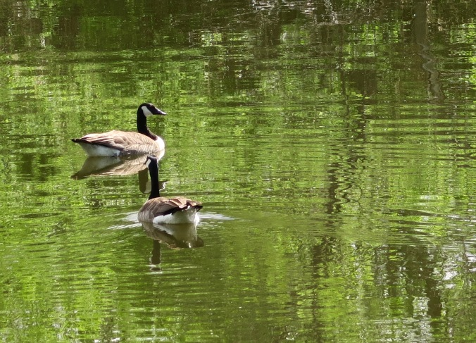 Peggy and I discovered this pair of Canadian Geese in their idyllic setting near Minot, South Dakota.
