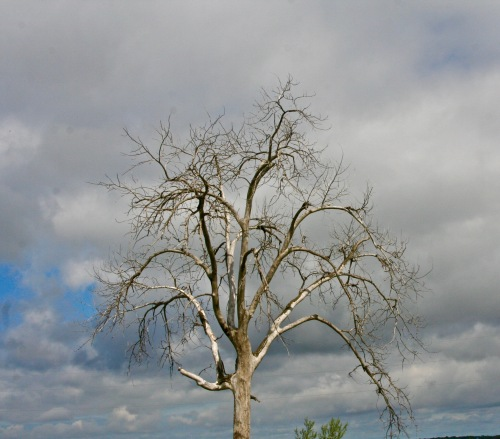 I'll conclude with this tree that lives out west.