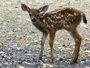 Fawn in Applegate Valley of Oregon.