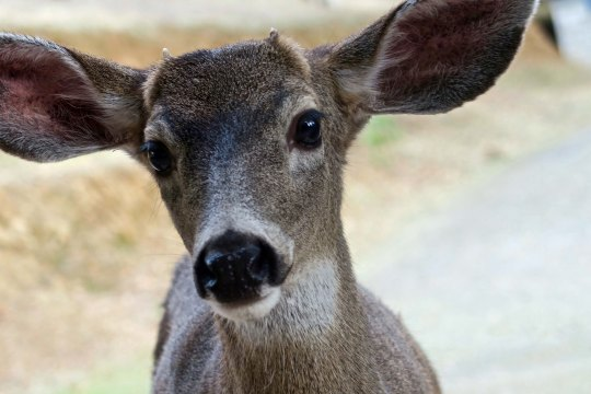 Young blacktail buck with tiny horns in the Applegate Valley of southern Oregon.