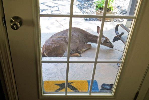 Pregnant doe sleeping on back porch in Oregon.