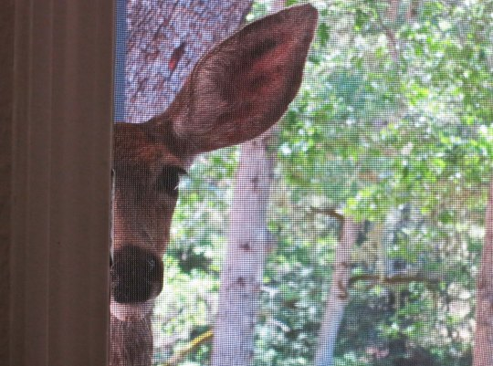 Deer looks in door of Curt and Peggy Mekemson's home on Upper Applegate River in Southern Oregon.