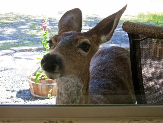 A nosy neighbor. If one window doesn't work, the deer go around our house, peering in each window.