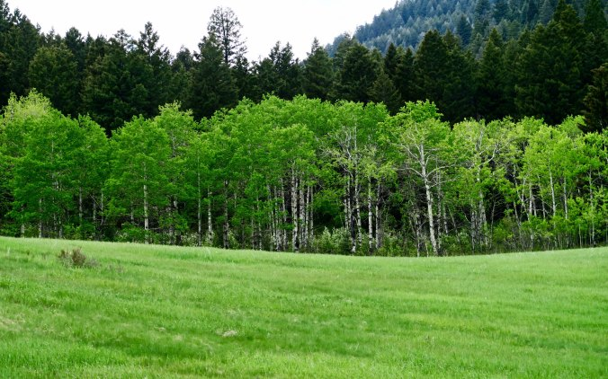 Trees along the Gallatin River on Montana's Highway 191.