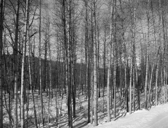 These Birch, which I rendered in black and white were along the way.