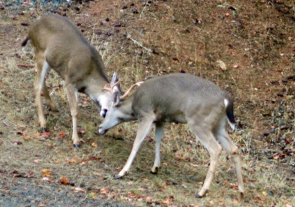 On the opposite end, a pair of bucks go at it in preparation for mating season. I face my writing chair so I can see all of our back yard action and keep a camera handy!