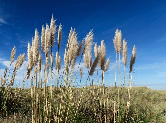 Pampas Grass growing on the California Coast.