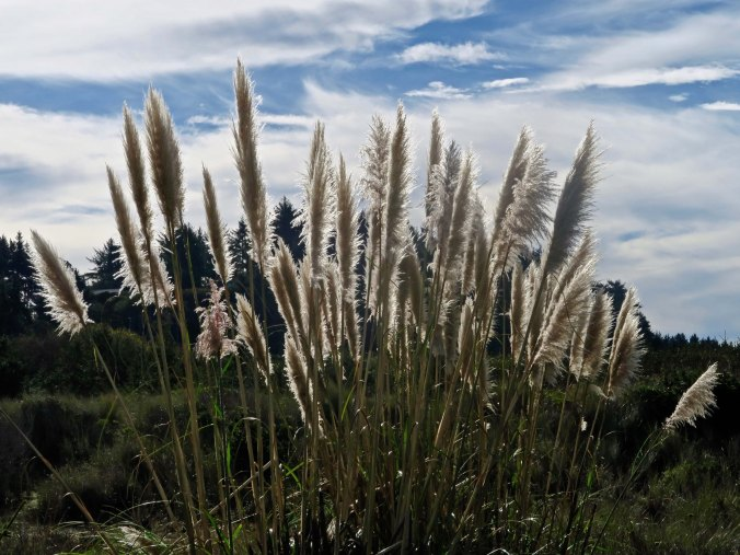 Pampas Grass on Clam Beach in Northern California.