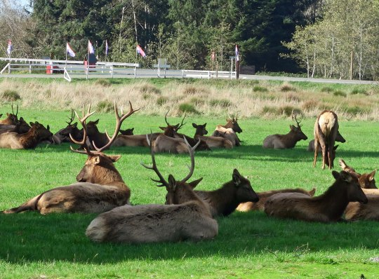 Elk herd near the Redwoods in Northern California.