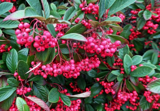 We found these berries growing on the Headlands. T'is the season!