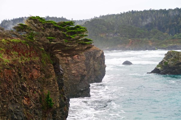 Another view of the Mendocino Headlands, this one featuring a Monterey Pine.