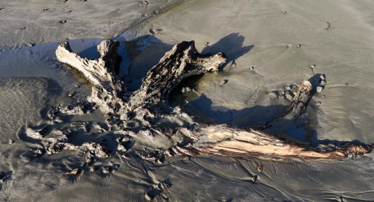 Ancient spruce roots at Sunset Bay on the Oregon Coast near Coos Bay.