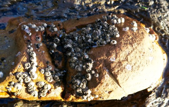 Barnacles attached to a rock at Sunset Bay State Park on the Oregon Coast.