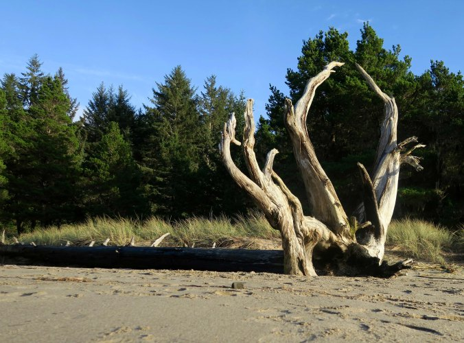 Downed tree with roots reaching skyward on the beach at Sunset Bay State Park.