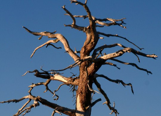 Ghost tree in the Five Lakes Basin of the Sierra Nevada Mountains.