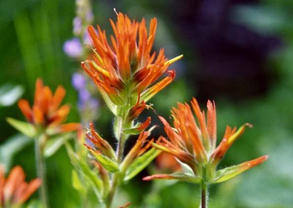 Indian Paint Brush found in Granite Chief Wilderness behind Squaw Valley, California.