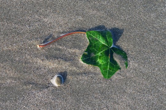Just for fun, I found this ivy leaf adding a splash of green to the beach.