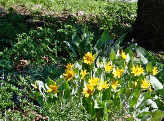 A close up of the Mule Ears blooming. There are few places in the Sierra's that can match the display of flowers in the Granite Chief Wilderness,